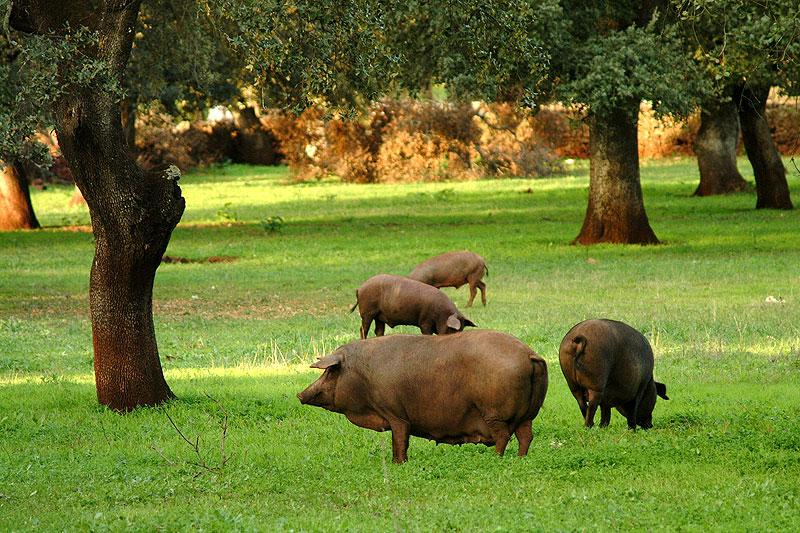 """El cerdo ibérico es una raza porcina y sus variedades pertenecientes al llamado """"tronco ibérico"""", predominante en la península ibérica. Hay variedades negras y coloradas, así como lampiñas o con pelo. Son animales muy apreciados en el sector alimentario para la producción de jamón ibérico y todo tipo de embutidos. ibericos de bellota"""