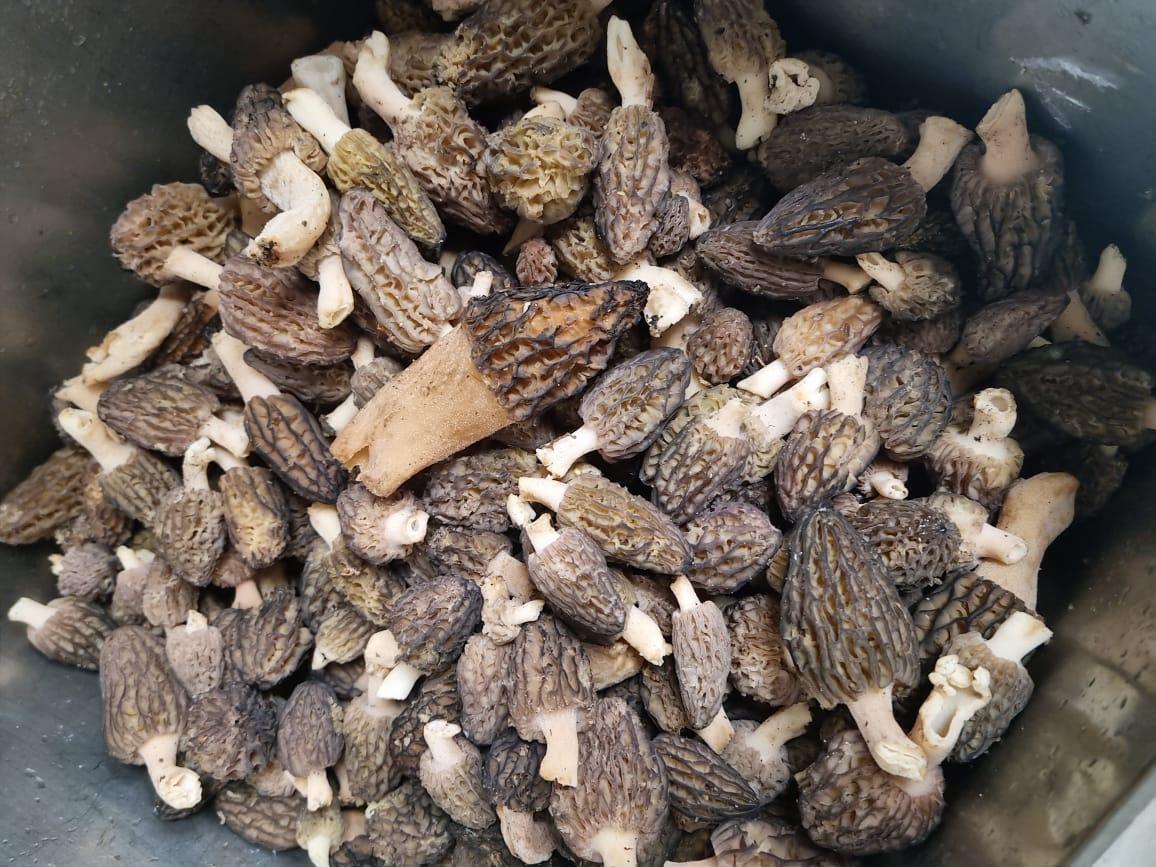 Les múrgola, rabassola o barret de capellà, és un bolet de la classe dels ascomicets i del gènere Morchella. Altres formes dialectals: Múrgula, múrmula, múrbula, búrbula, morúgula, murguela, murga